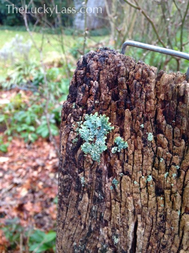 Lichen on an Old Fence Post