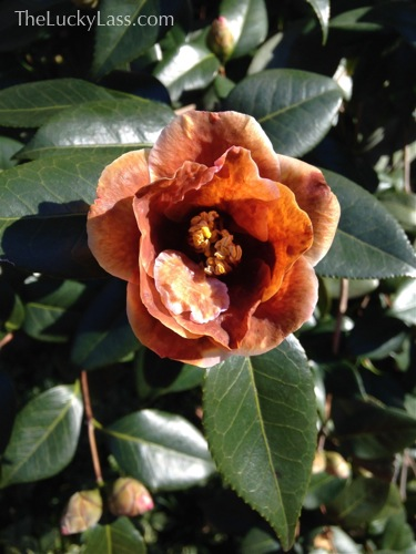Discolored Camellia bloom
