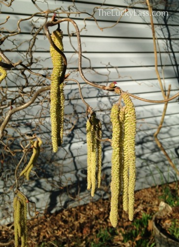 Harry Lauders Walking Stick Catkins
