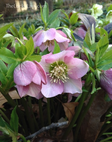 Light Pink Hellebore