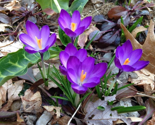 Pretty Crocuses