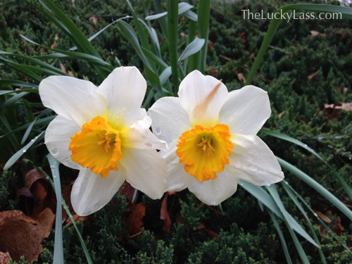 Late Blooming Daffodils next to driveway