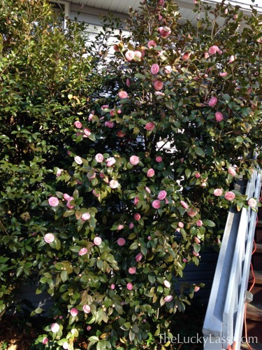 Pink Camellia by front stairs
