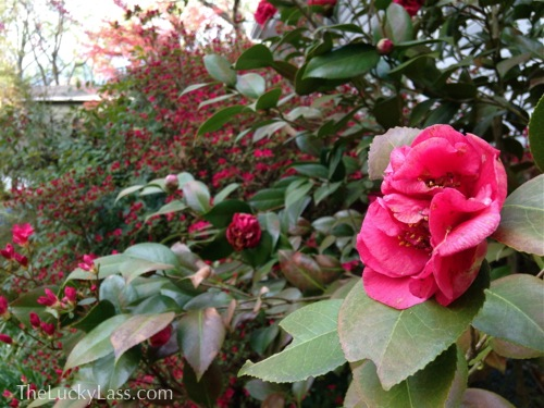 Pinkish Red Camillia