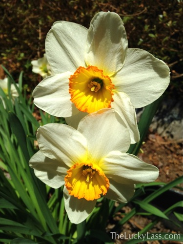 White Daffodil with Red/Orange rimmed cup