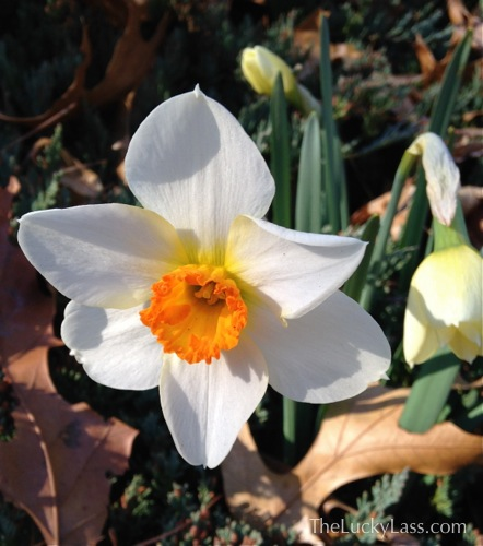 White with orange cup Daffodil by driveway
