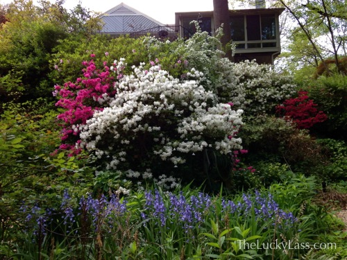 Back slope with azaleas