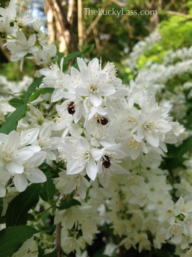 Bugs in Slender Deutzia