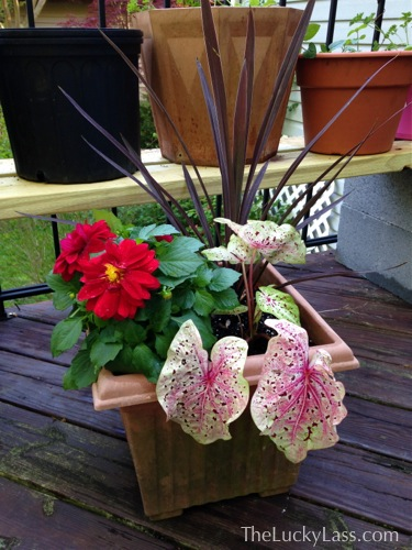 Planter with caladium and dahlias