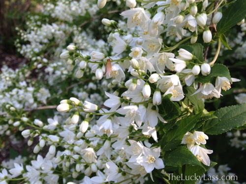 Slender Deutzia Flowers
