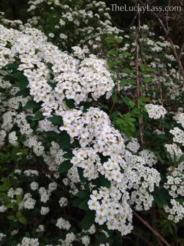 Spirea Bush Flowering