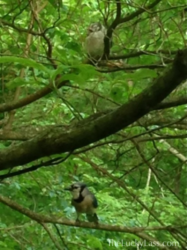 Baby Blue Jay with momma