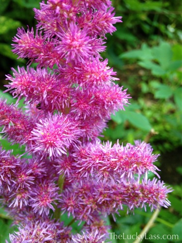 Detail Fluffy Pink Astilibe