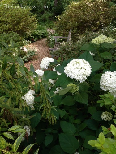 Giant Annabelle Hydrangea blossoms