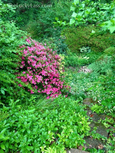 Late Azalea on the slope