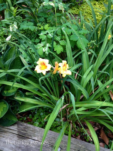 Yellow Daylilies in Veggie Patch