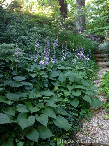 Big Blooming Hostas