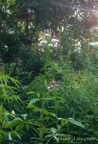 Cleome or Spider Plant