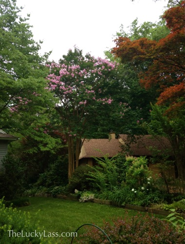 Crape Myrtle on the side
