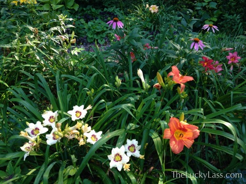 Daylillies and Purple Coneflower