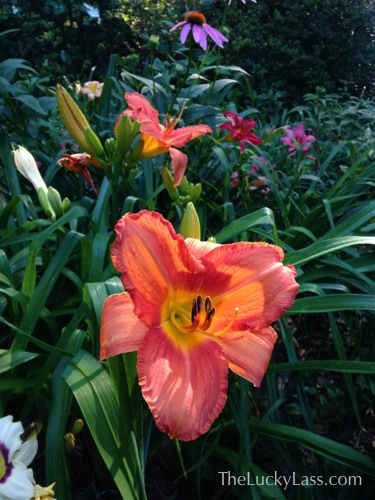 Daylily Color Explosion