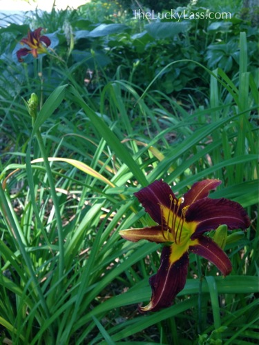 Deep Red Daylillies