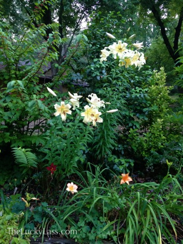 Great Bloomin Lillies