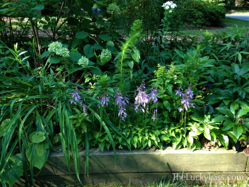 Little Blooming Hostas