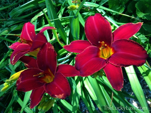 Red Daylillies