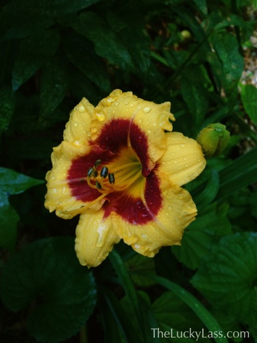 Yellow and Red Daylily